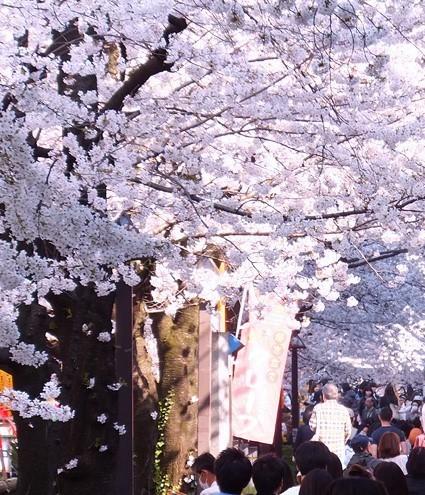 中目桜.jpg